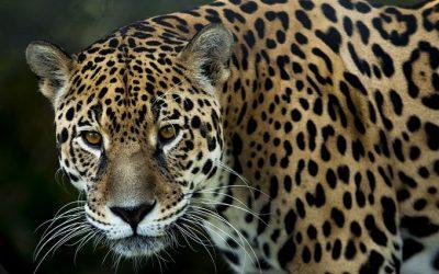 Jaguar ernstig bedreigd in Latijns-Amerika door vraag vanuit China