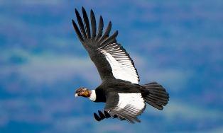 Condor zweeft nog beter dan gedacht