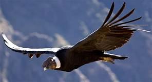 De condor vliegt voorbij