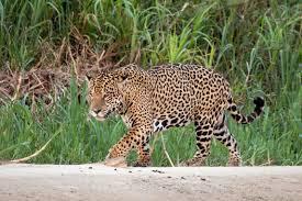 De jaguar is na zeventig jaar teruggekeerd in de moerassen van Zuid-Amerika