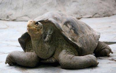 Ecuador: reuzenschildpad als ecologische indicator?