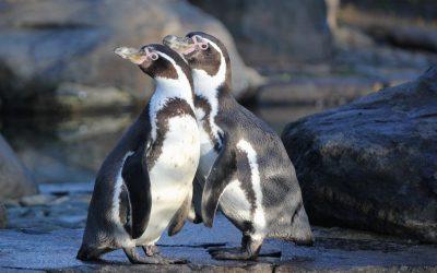 Goedgekeurd mijnbouwproject in Chili bedreigt Humboldtpinguïn